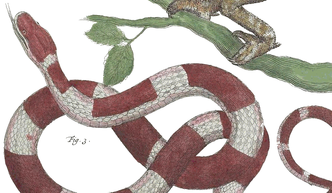 A drawing of a red and white snake taken from Plate LXXXIII from Locupletissimi rerum naturalium thesauri volume 1.