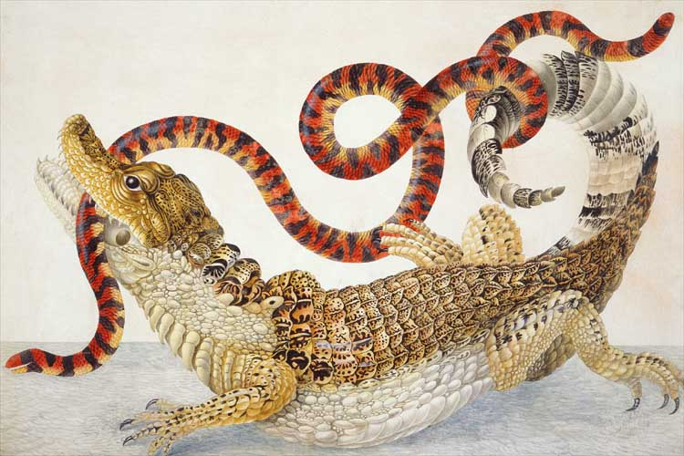 A watercolor drawing of a Spectacled Caiman fighting with a False Coral Snake by Maria Sibylla Merian.