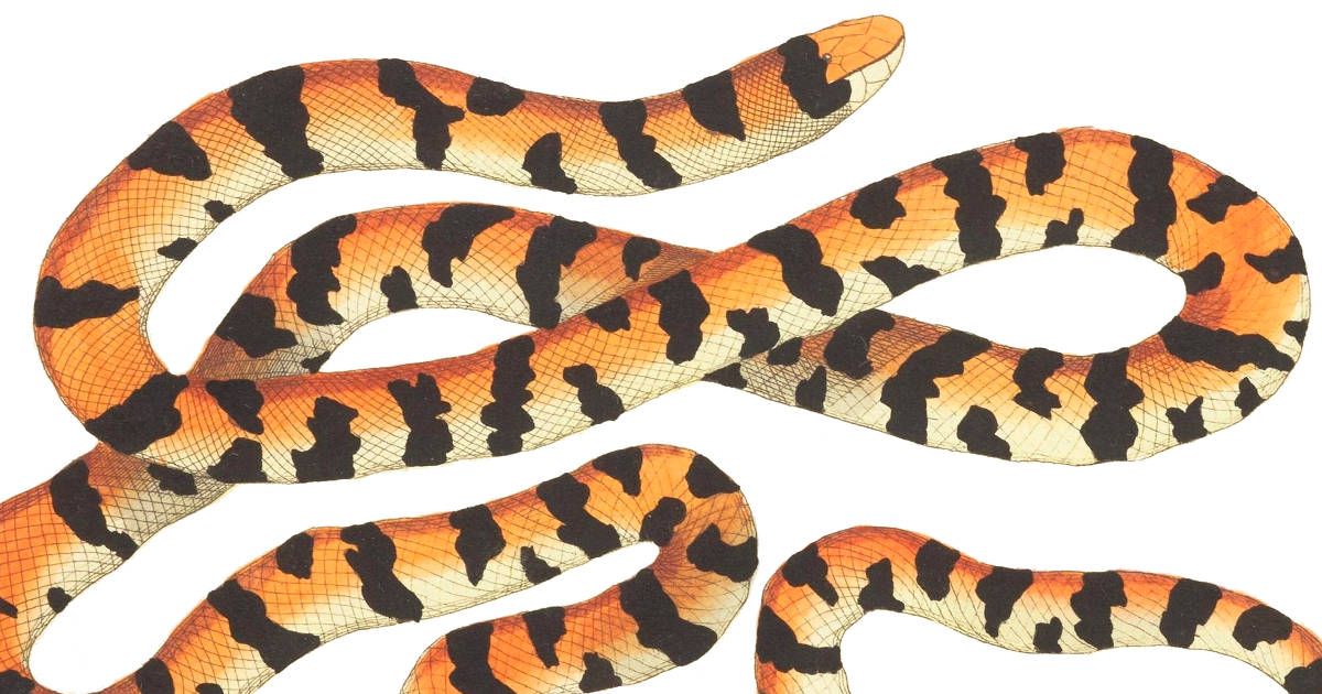 A drawing of an orange and black snake from The Naturalist's Miscellany Volume 1.